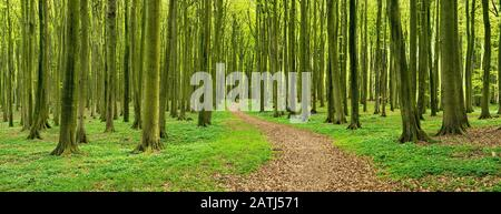 Panorama, hiking trail winds through semi-natural, hall-like Beeches forest (Fagus) in spring, anemones in bloom, Jasmund National Park, Island of - Stock Photo