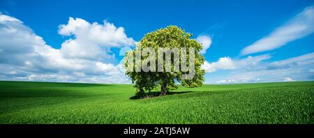 Panorama, Large solitary horse chestnut (Aesculus) in full bloom on a green field in spring, blue sky with cumulus clouds, Saalekreis, Saxony-Anhalt - Stock Photo