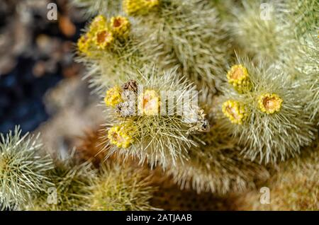 Teddy-bear Cholla (Cylindropuntia bigelovii,) at the Cholla Cactus Garden in Joshua Tree National, Park, CA. - Stock Photo