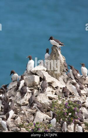 Common Guillemots or Common Murres, Uria aalge, colony nesting on sea stack.  Castlemartin, Pembrokeshire, Wales, UK - Stock Photo