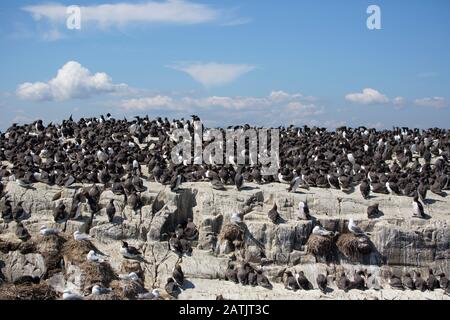 Common Guillemots or Common Murres, Uria aalge, nesting colony.  Farne Islands, Northumberland, UK - Stock Photo