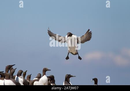 Common Guillemots or Common Murres, Uria aalge, single adult landing in nesting colony.  Farne Islands, Northumberland, UK - Stock Photo