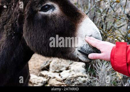 A man's hand touching the donkey in the field - Stock Photo