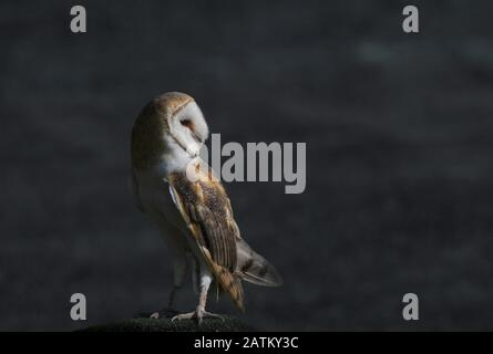 Close up of Barn Owl on rock at dusk - Stock Photo
