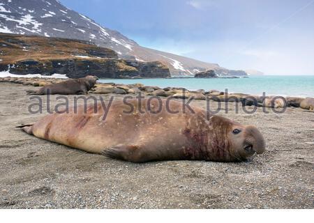 South Georgia Island, Moltke Harbor, Southern elephant seal (Mirounga leonina) - Stock Photo