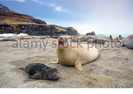 South Georgia Island, Moltke Harbor, Southern elephant seal (Mirounga leonina) mother and pup - Stock Photo