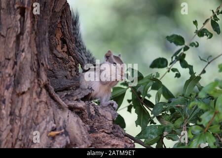 A squirrel eating something on tree , outdoor animals - Stock Photo