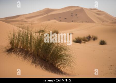 Plants in the dunes of the Moroccan Sahara desert. - Stock Photo