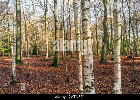 A panoramic view of Beech trees Fagus sylvatica and Siver Birch trees Betula pendula in an autumnal Thorndon Park North in Brentwood in Essex. - Stock Photo