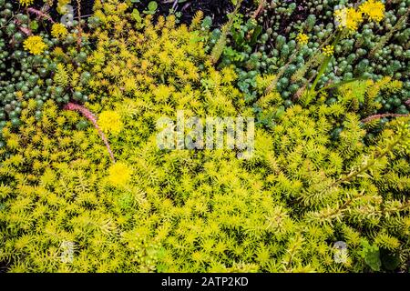 Sedum - Stonecrop in early summer. - Stock Photo