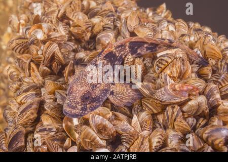 Racer goby (Babka gymnotrachelus) lies on a colony bivalves mollusks Zebra mussel (Dreissena polymorpha), Dnieper River, Zaporizhia Oblast, Ukraine - Stock Photo