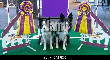 New York, USA. 4th Feb, 2020. Border Collies Verb (R), 2019 winner of the Agility competition poses next to Fame(US), winner of the 2018 Agility competition, during a 'Meet The Breeds' event in the New Yorker hotel in Manhattan, ahead of the 2020 Westminster Kennel Club Dog show . Credit: Enrique Shore/Alamy Live News - Stock Photo