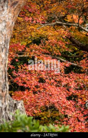 view of colorful Fall foliage in garden, Shoren-in  Buddhist temple in Kyoto, Japan - Stock Photo