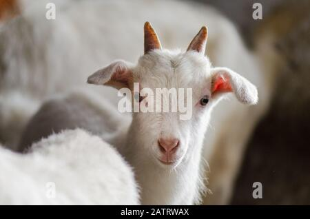White goats in barn. Domestic goats in the farm. Lovely white kid goats.   Little  goats standing in wooden shelter - Stock Photo