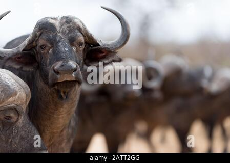 African Buffalo Portrait , also known as cape buffalo