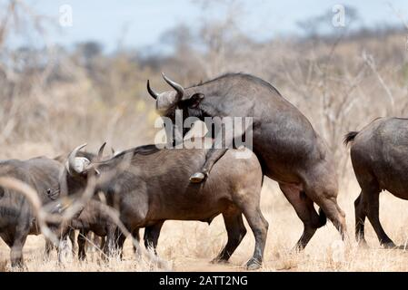 Cape buffalo mating, African buffalo mating Stock Photo