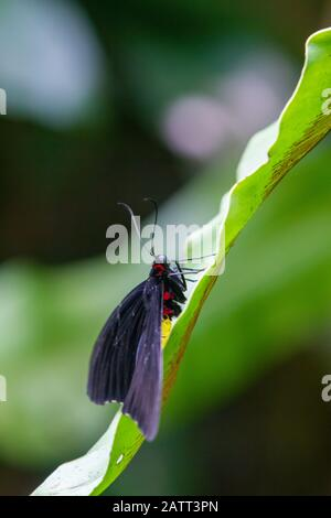 Troides helena, the common birdwing, black, yellow and red butterfly of the family Papilionidae - Stock Photo