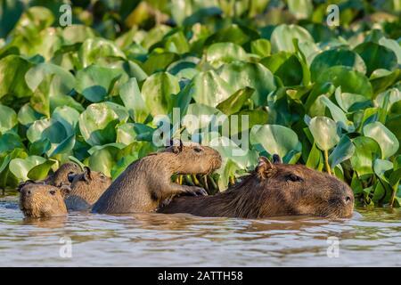 Adult capybara, Hydrochoerus hydrochaeris, with young, Porto Jofre, Mato Grosso, Pantanal, Brazil. - Stock Photo