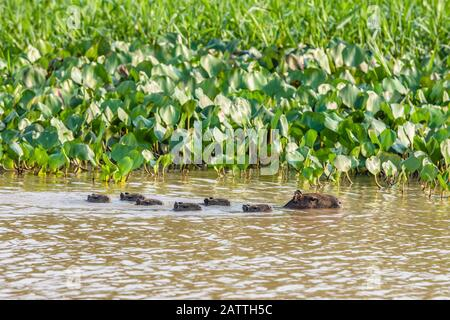 Adult capybara, Hydrochoerus hydrochaeris, with young, Porto Jofre, Mato Grosso, Pantanal, Brazil. - Stock Photo