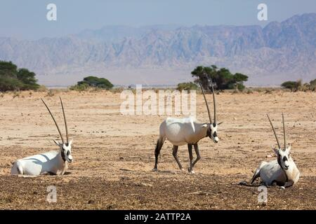 Arabian oryx (White oryx) in desert in Yotvata Hai-Bar Nature Reserve breeding and reacclimation center (Oryx leucoryx) - Stock Photo