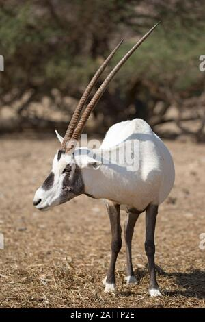 Arabian oryx (White oryx) in Yotvata Hai-Bar Nature Reserve breeding and reacclimation center (Oryx leucoryx) - Stock Photo
