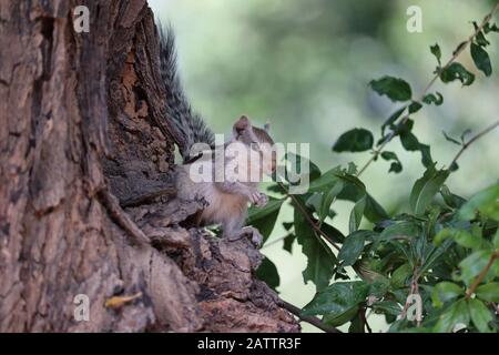 close up of great white squirrel on neem tree, outdoor animals - Stock Photo