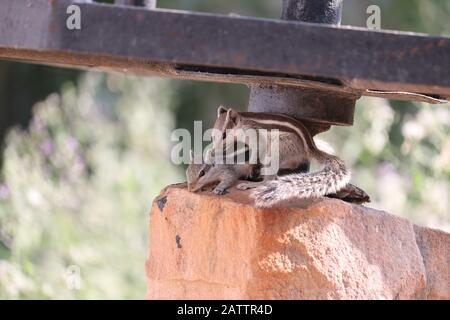 two pair love squirrel on red stone with romantic mod - Stock Photo