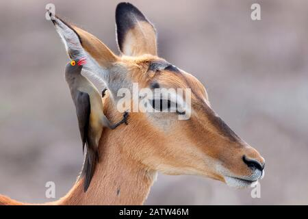 Red-billed Oxpecker (Buphagus erythrorynchus), looking for parasites in the ear of an Impala (Aepyceros melampus), Mpumalanga, South Africa - Stock Photo