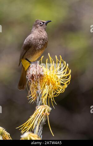 Cape Bulbul (Pycnonotus capensis), adult perched on a flower, Western Cape, South Africa - Stock Photo