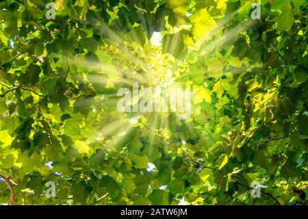 Sun rays shining through green leaves nature background - Stock Photo