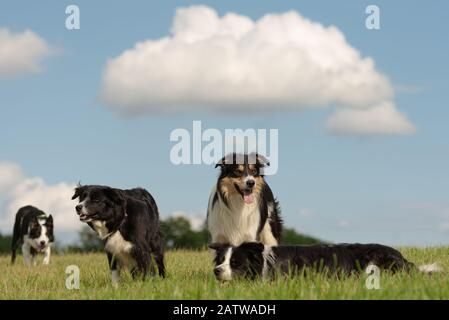 A group of obedient dogs - Border Collies in all ages from the young dog to the senior - Stock Photo