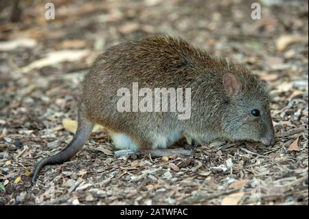 Long-nosed potoroo (Potorous tridactylus) feeding on bird seed fallen from bird feeders which encourages them to come out into open woodland. Fences around the property protect them from feral predators, Cleland Wildlife Park, South Australia, March. - Stock Photo
