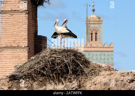 Pair or Couple of White Storks, Ciconia ciconia, Standing on Nest at El Badi Palace with Minaret of Berrima Mosque in Background Marrakesh Morocco - Stock Photo