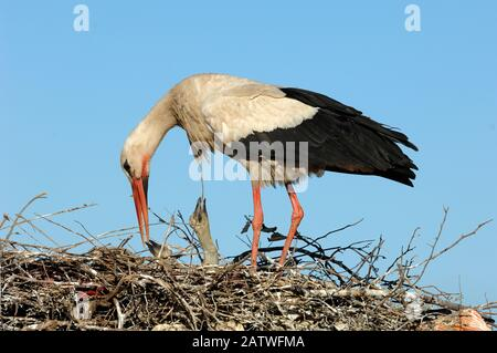 Single White Stork, Ciconia ciconia, Feeding Chicks on Nest Marrakesh Morocco - Stock Photo