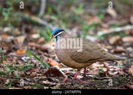 Blue-headed quail-dove (Starnoenas cyanocephala) on ground, Cuba - Stock Photo