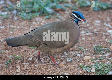 Blue-headed quail-dove (Starnoenas cyanocephala) profile, Cuba. Endangered species. Endemic. - Stock Photo