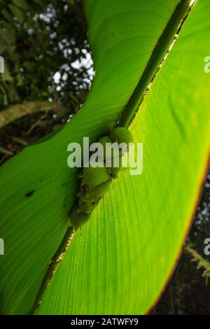 White tent making bat (Ectophylla alba) roosting in Heleconia leaf, La Selva Field Station, Costa Rica. - Stock Photo