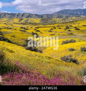 Foothills of the Temblor Range, carpeted with Coreopsis (yellow) and Purple Owls Clover (Castilleja exserta) flowers. Carrizo Plain, California, USA. 30th March 2019. - Stock Photo