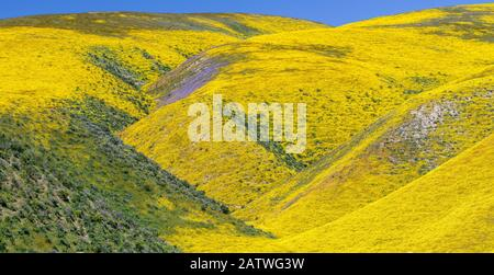 Steep valleys in the foothills of the Temblor Range, carpeted with Coreopsis (yellow) and Phacelia (purple) with patches of orange California poppy (Eschscholzia californica). Carrizo Plain, California, USA. 31st March 2019.