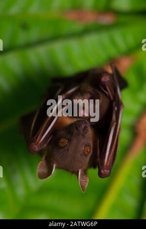 Short-nosed fruit-bat (Cynopterus brachyotis) roosting, Ko Chang Island, Thailand. - Stock Photo