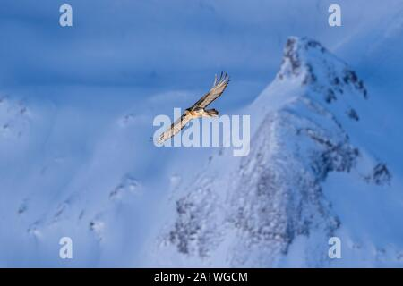 Lammergeier (Gypaetus barbatus) in flight over winter landscape with snow, Leukerbad, Vallais, Wallis, Switzerland, January - Stock Photo