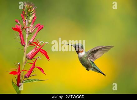 Ruby-throated Hummingbird (Archilocus colubris), male flying in to feed from cardinal flowers (Lobelia cardinalis) New York, USA. August. - Stock Photo