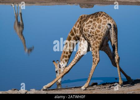 Common giraffe (Giraffa tippelskirchi) bending to drink at a waterhole, with another standing on the opposite side of the pool reflected in the water. Klein Namutoni waterhole, Etosha National Park, Namibia, May. - Stock Photo