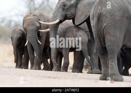 Elephant herd in the wilderness of Africa