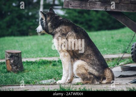 Husky dog is waiting in the yard - Stock Photo