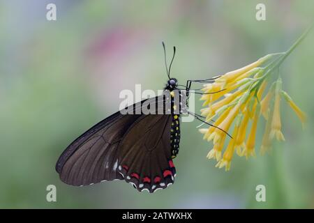 Close up of Black Swallowtail butterfly on yellow flower with soft pastel background - Stock Photo