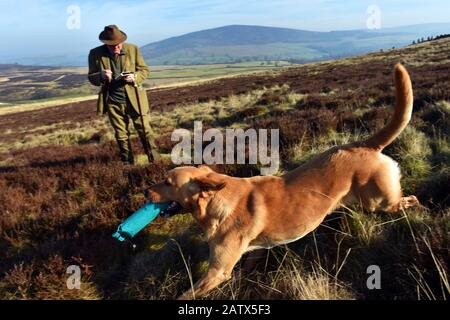 A dog chases his dummy bird during gun dogs training session Barden Moor Yorkshire Dales UK - Stock Photo