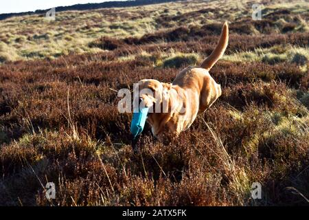A gun dog runs with his dummy bird during a gun dogs training session Barden Moor Yorkshire Dales UK - Stock Photo