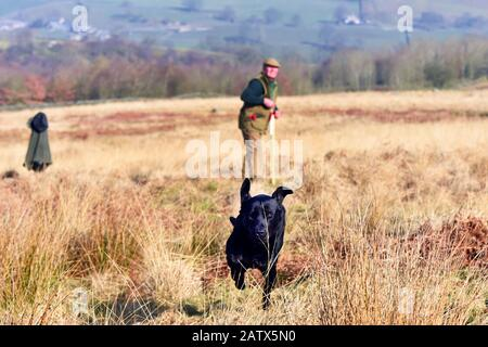 Gun dogs training session Barden Moor Yorkshire Dales UK a gamekeeper trains his dog to fetch a dummy bird. - Stock Photo