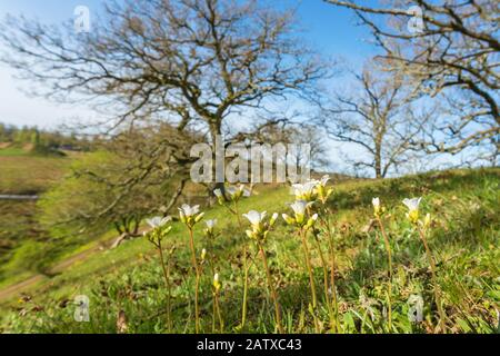 Meadow saxifrage blooming on a slope - Stock Photo